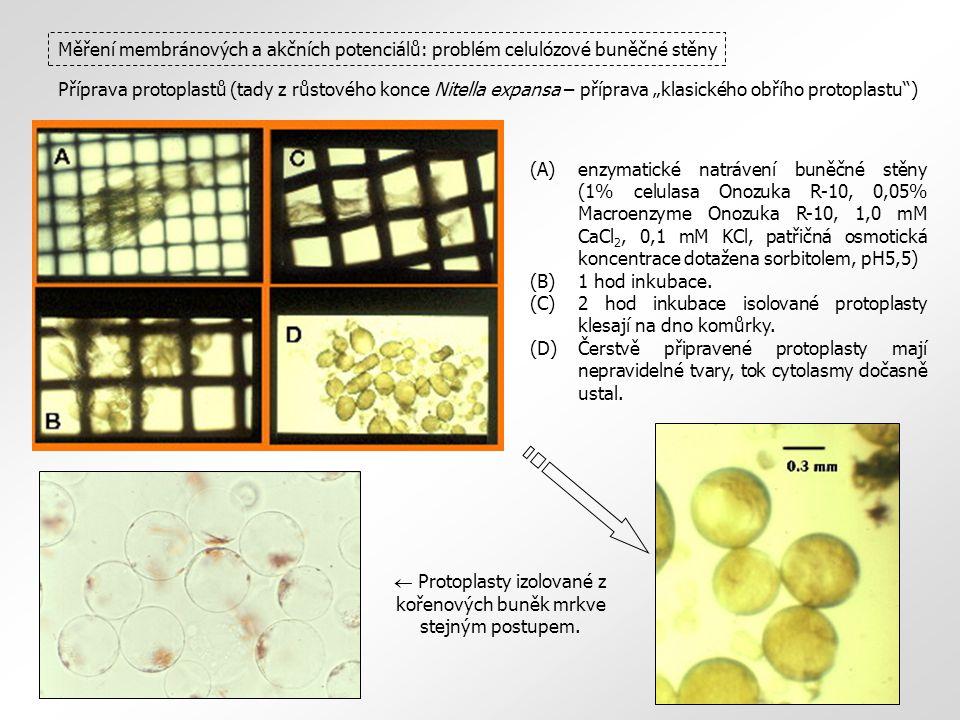  Protoplasty izolované z kořenových buněk mrkve stejným postupem.