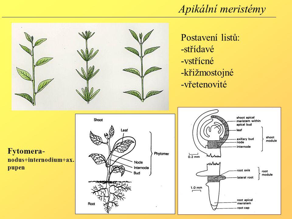 Apikální meristémy Postavení listů: -střídavé -vstřícné -křižmostojné