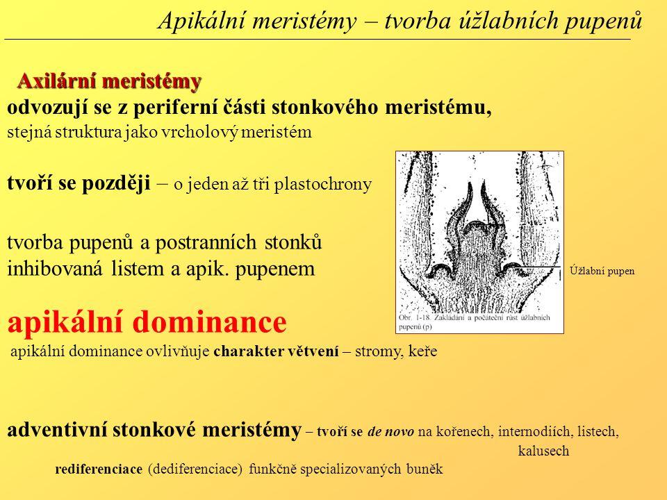 apikální dominance Apikální meristémy – tvorba úžlabních pupenů