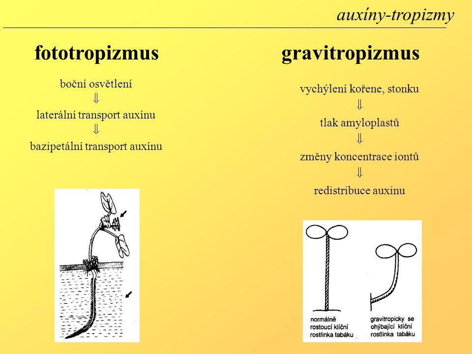 fototropizmus gravitropizmus auxíny-tropizmy boční osvětlení 