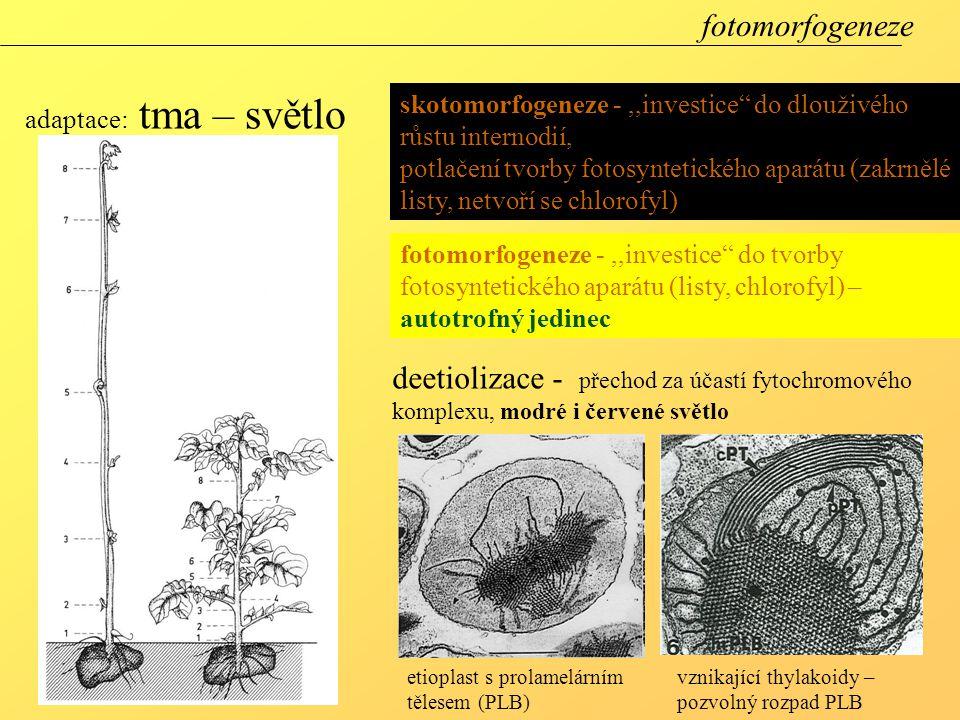 fotomorfogeneze adaptace: tma – světlo. skotomorfogeneze - ,,investice do dlouživého růstu internodií,