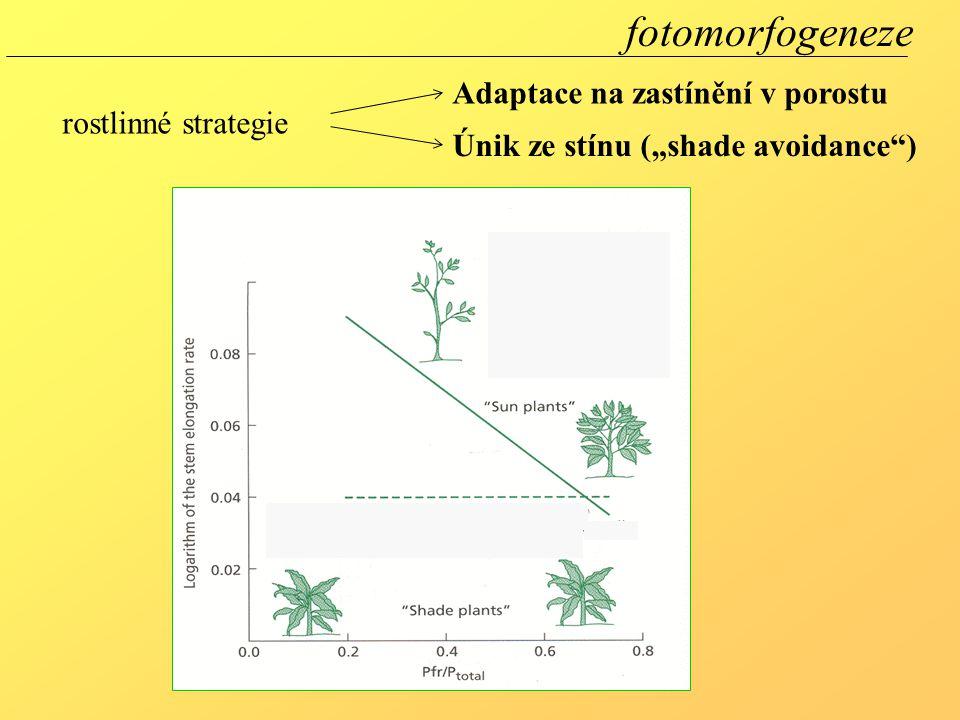 fotomorfogeneze Adaptace na zastínění v porostu rostlinné strategie
