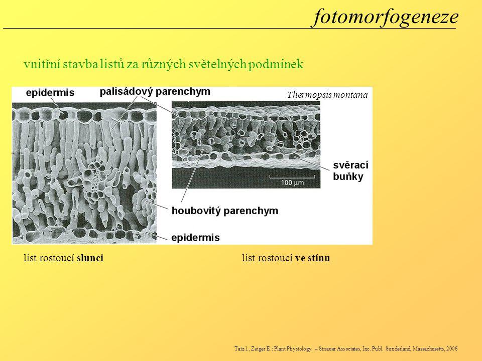 fotomorfogeneze vnitřní stavba listů za různých světelných podmínek