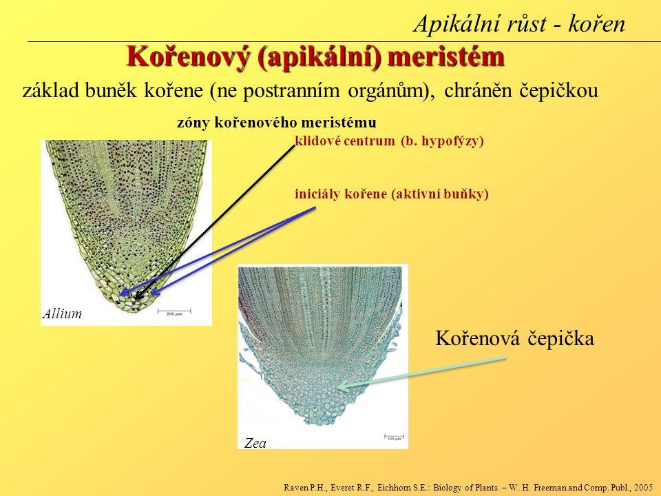 Kořenový (apikální) meristém