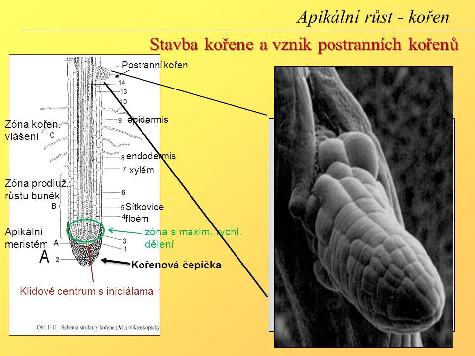Stavba kořene a vznik postranních kořenů