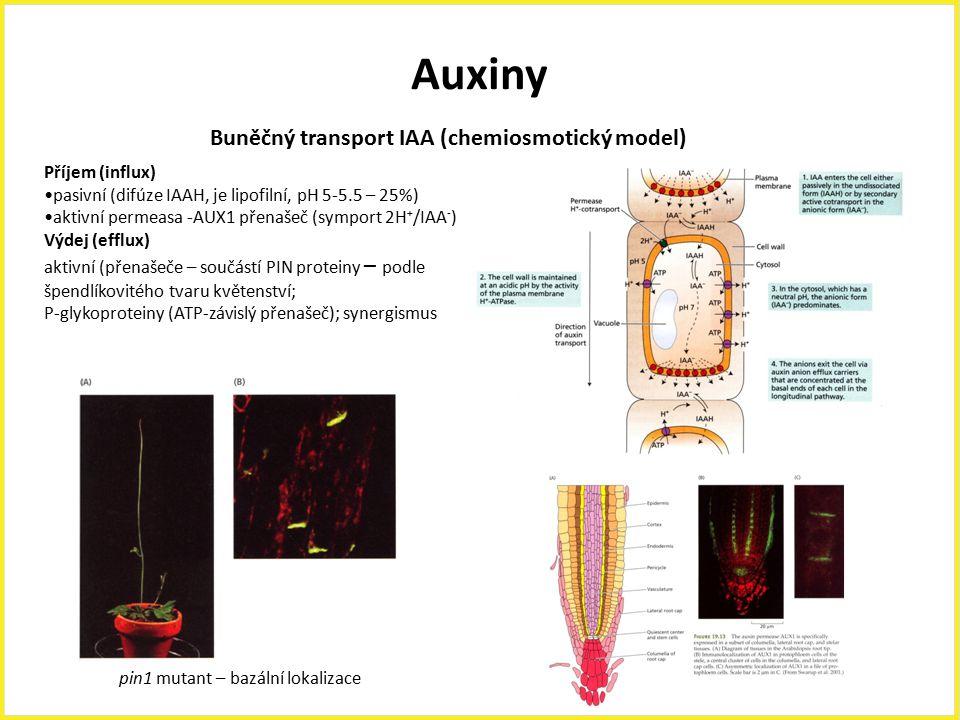 Auxiny Buněčný transport IAA (chemiosmotický model) Příjem (influx)
