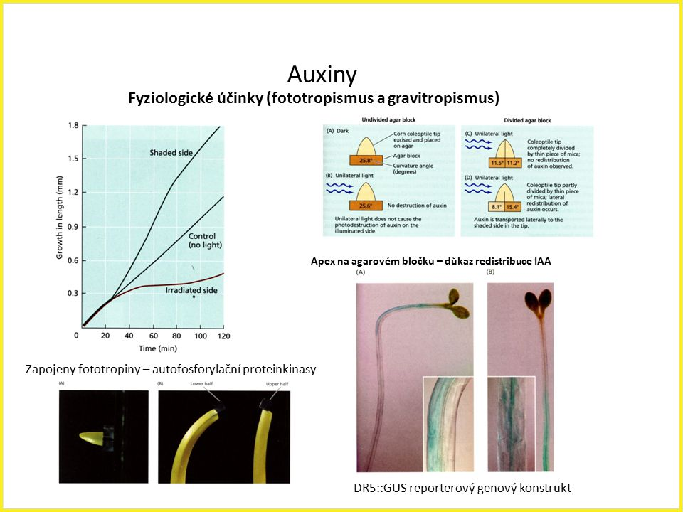 Auxiny Fyziologické účinky (fototropismus a gravitropismus)