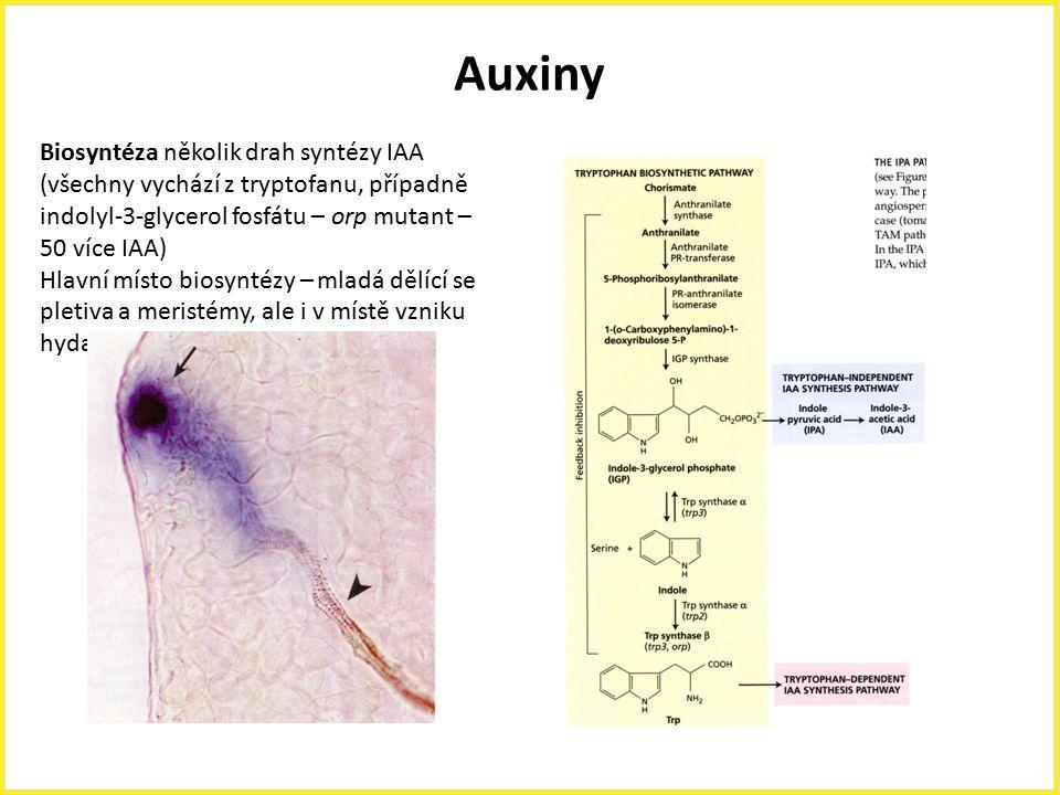 Auxiny Biosyntéza několik drah syntézy IAA (všechny vychází z tryptofanu, případně indolyl-3-glycerol fosfátu – orp mutant – 50 více IAA)