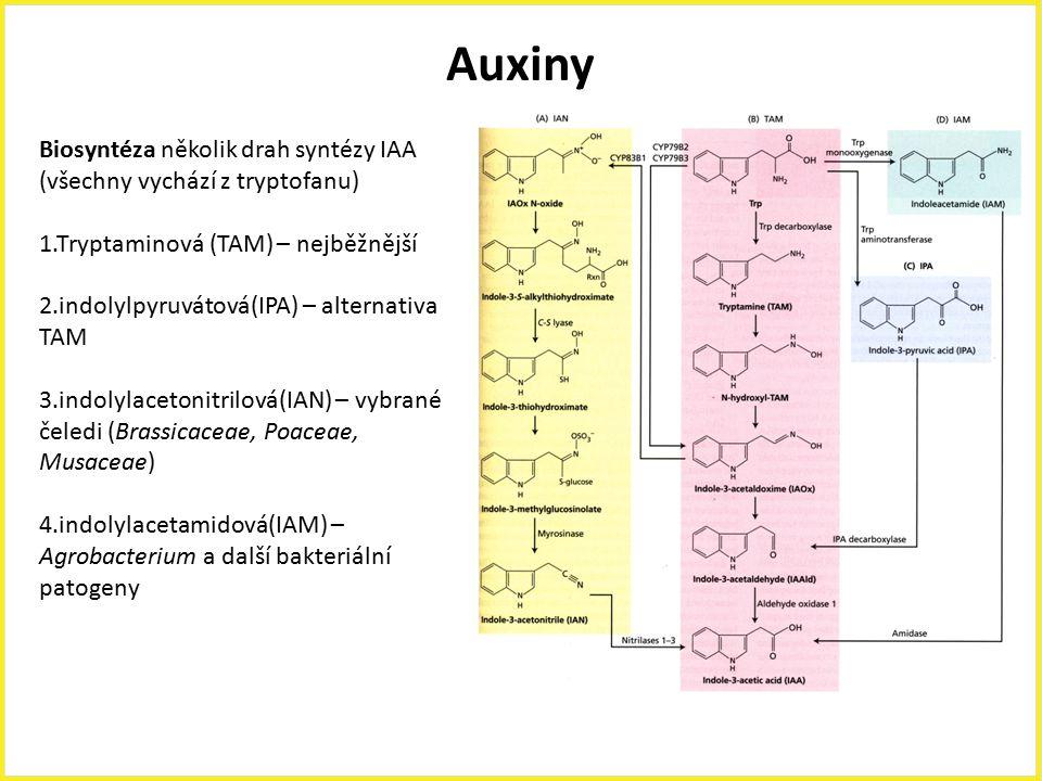 Auxiny Biosyntéza několik drah syntézy IAA (všechny vychází z tryptofanu) 1.Tryptaminová (TAM) – nejběžnější.