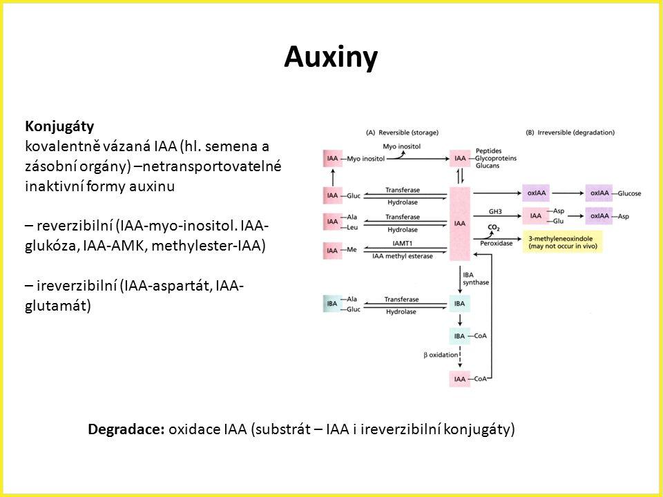 Auxiny Konjugáty. kovalentně vázaná IAA (hl. semena a zásobní orgány) –netransportovatelné inaktivní formy auxinu.