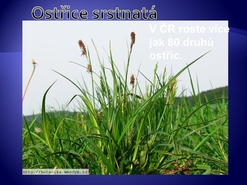 Ostřice srstnatá V ČR roste více jak 80 druhů ostřic.