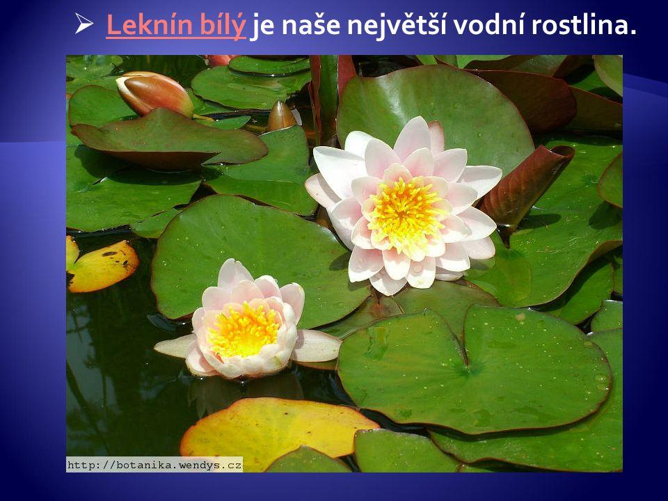 Leknín bílý je naše největší vodní rostlina.