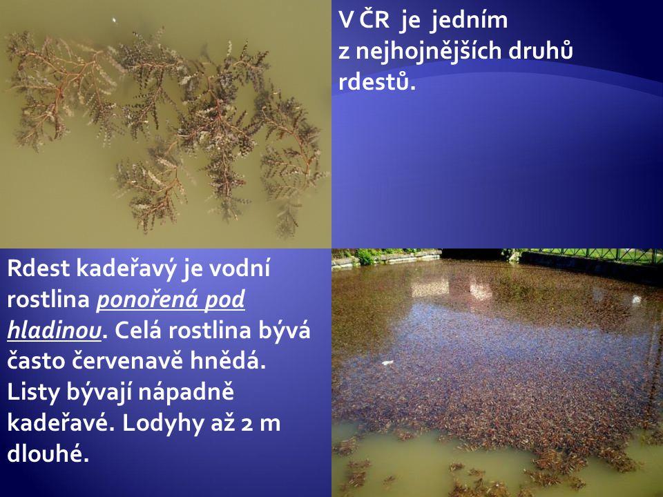 V ČR je jedním z nejhojnějších druhů rdestů.