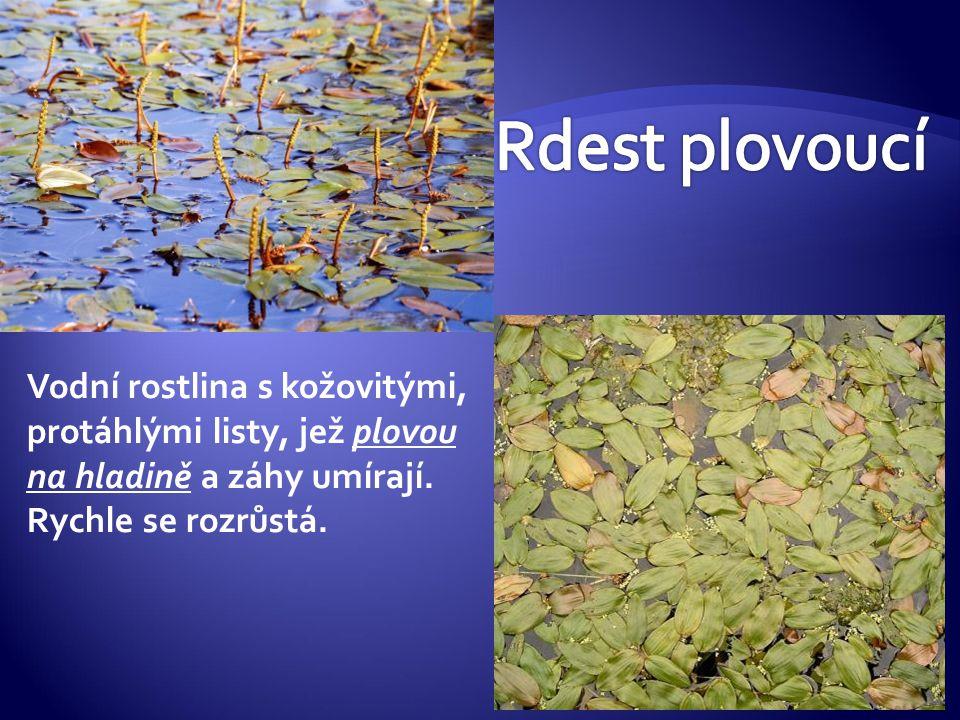 Rdest plovoucí Vodní rostlina s kožovitými, protáhlými listy, jež plovou na hladině a záhy umírají.