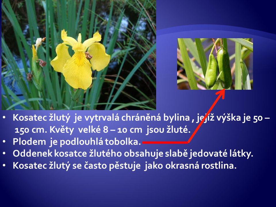 Kosatec žlutý je vytrvalá chráněná bylina , jejíž výška je 50 – 150 cm
