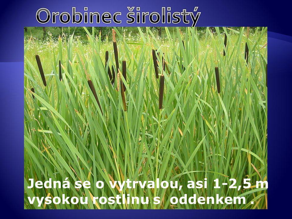 Orobinec širolistý Jedná se o vytrvalou, asi 1-2,5 m vysokou rostlinu s oddenkem .