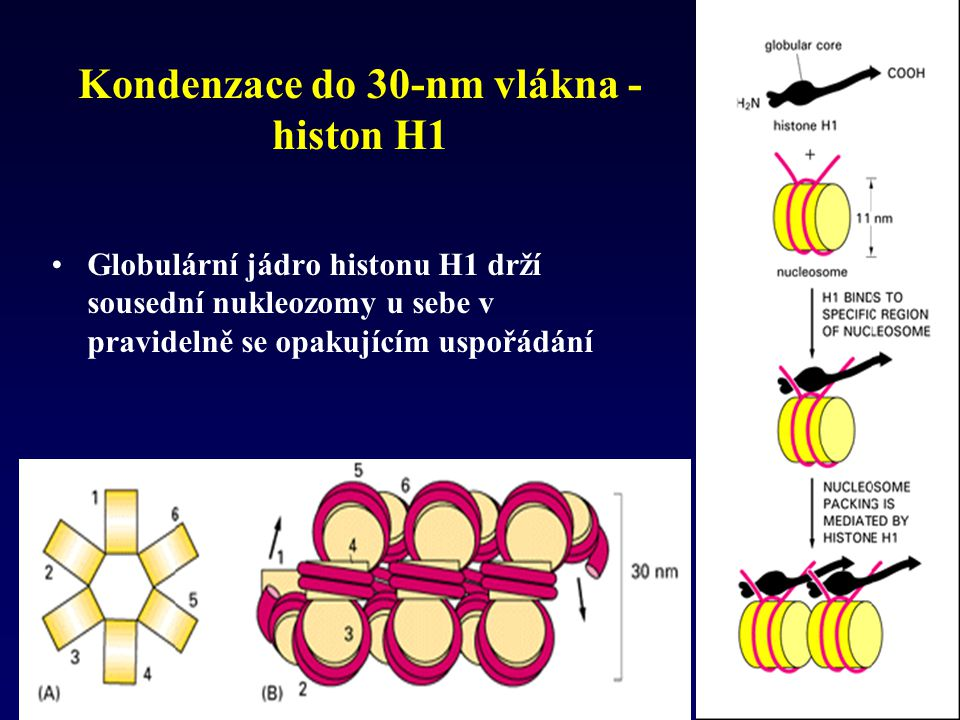 Kondenzace do 30-nm vlákna - histon H1