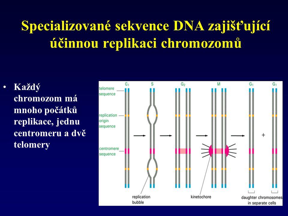 Specializované sekvence DNA zajišťující účinnou replikaci chromozomů