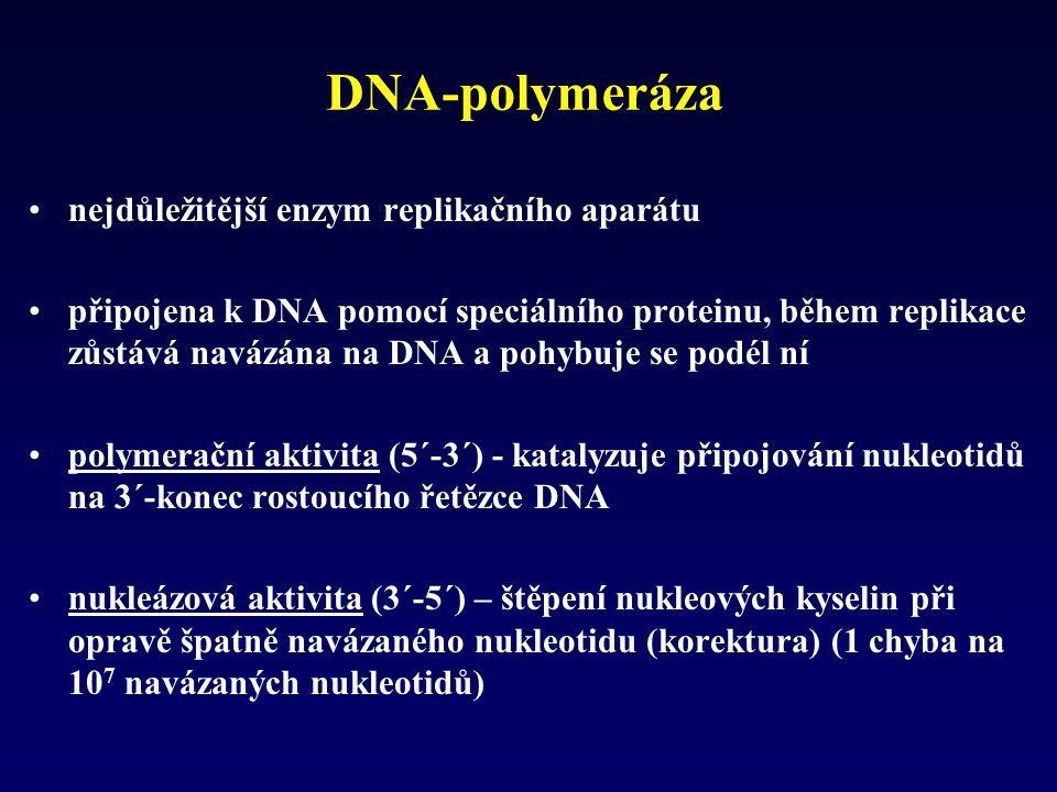 DNA-polymeráza nejdůležitější enzym replikačního aparátu