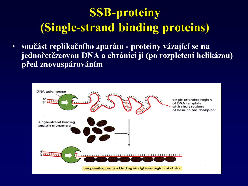SSB-proteiny (Single-strand binding proteins)
