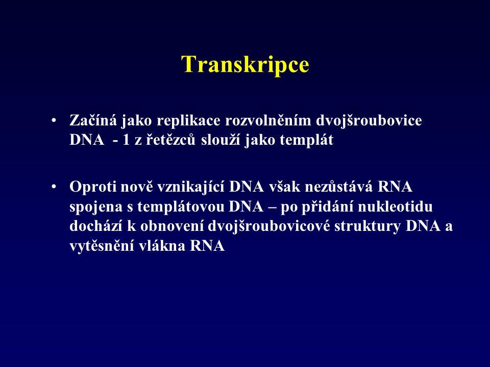 Transkripce Začíná jako replikace rozvolněním dvojšroubovice DNA - 1 z řetězců slouží jako templát.