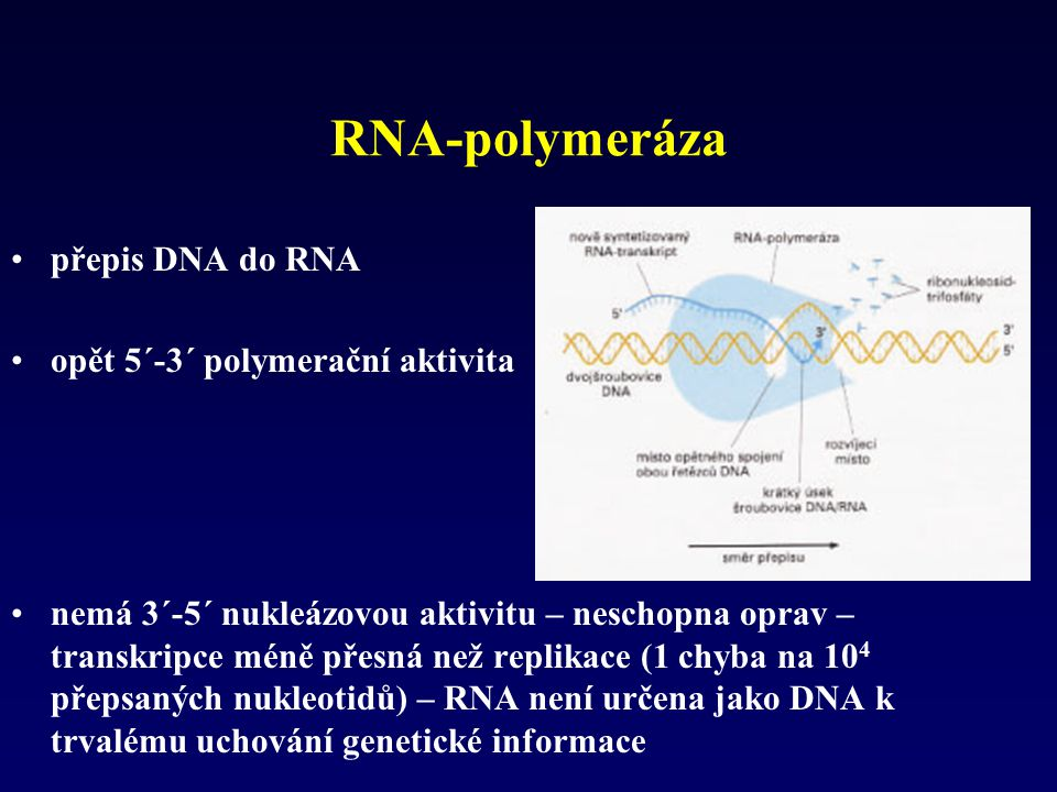 RNA-polymeráza přepis DNA do RNA opět 5´-3´ polymerační aktivita