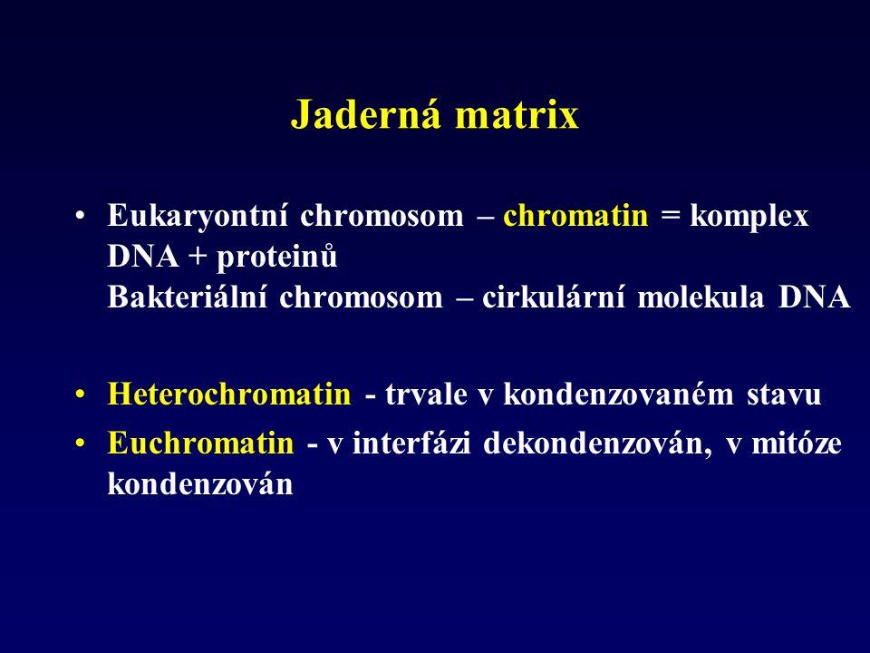Jaderná matrix Eukaryontní chromosom – chromatin = komplex DNA + proteinů Bakteriální chromosom – cirkulární molekula DNA.