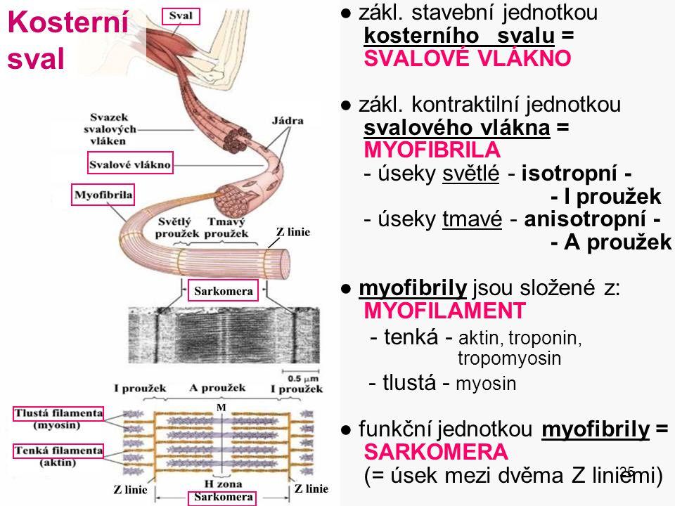 Kosterní sval - tlustá - myosin ● zákl. stavební jednotkou