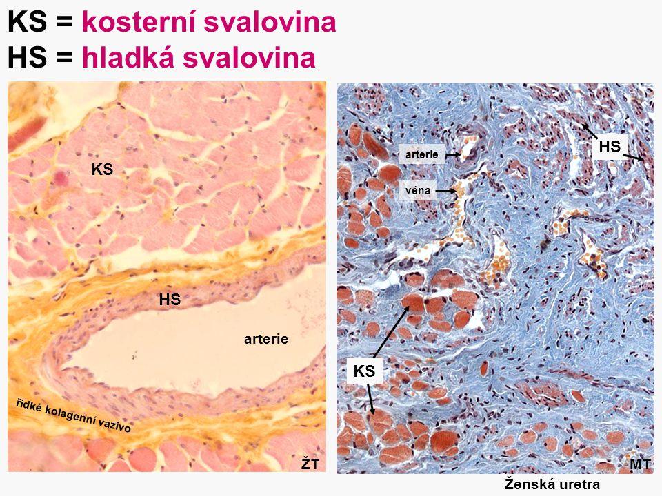 KS = kosterní svalovina HS = hladká svalovina
