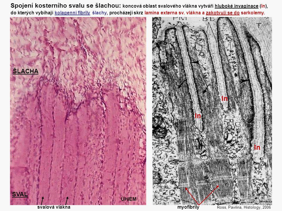 Spojení kosterního svalu se šlachou: koncová oblast svalového vlákna vytváří hluboké invaginace (In),