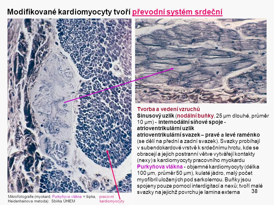 Modifikované kardiomyocyty tvoří převodní systém srdeční
