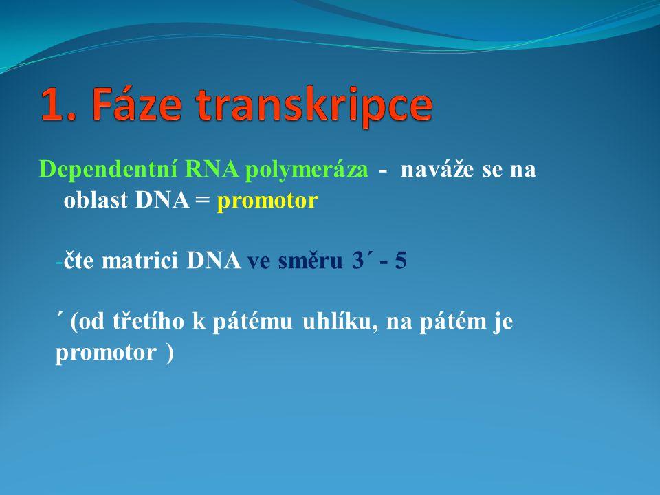 1. Fáze transkripce Dependentní RNA polymeráza - naváže se na oblast DNA = promotor. čte matrici DNA ve směru 3´ - 5.