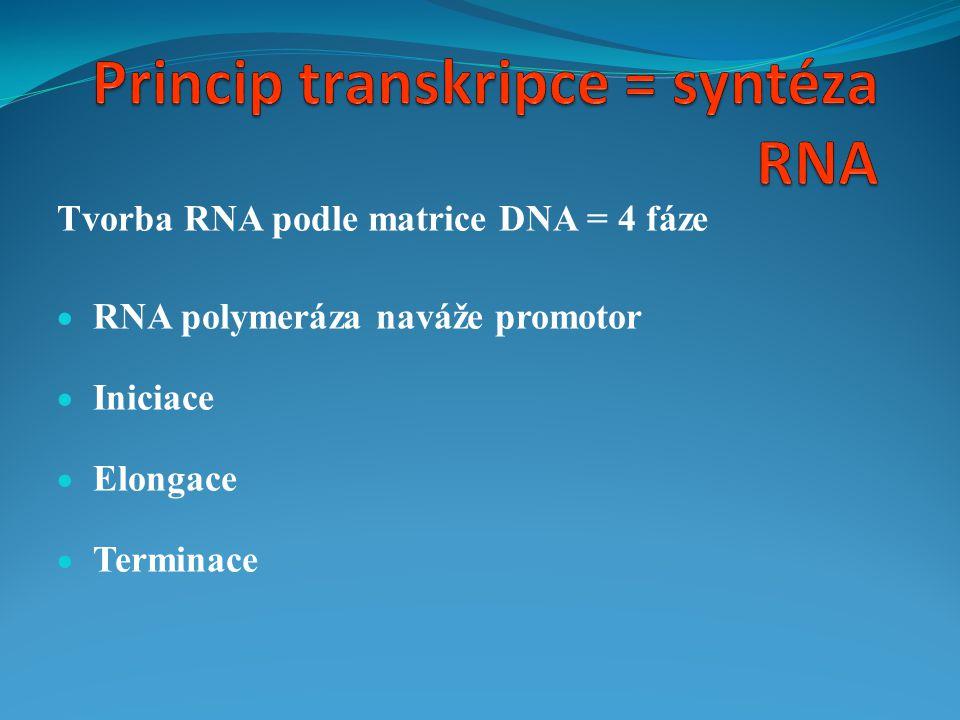 Princip transkripce = syntéza RNA