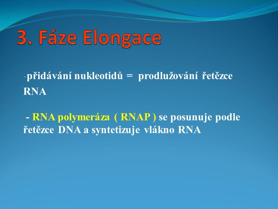3. Fáze Elongace přidávání nukleotidů = prodlužování řetězce RNA