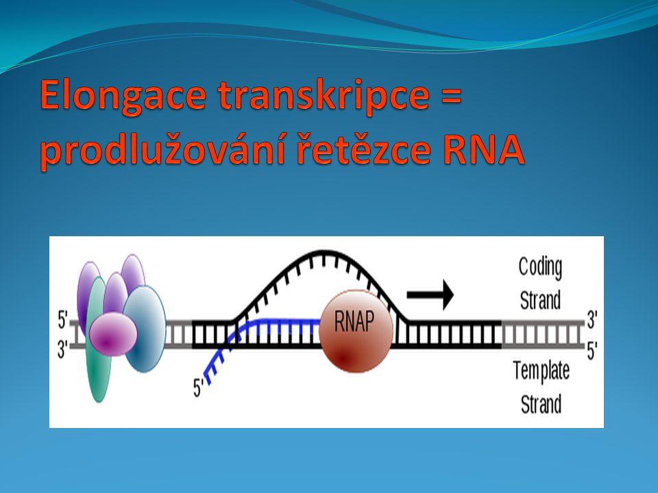 Elongace transkripce = prodlužování řetězce RNA