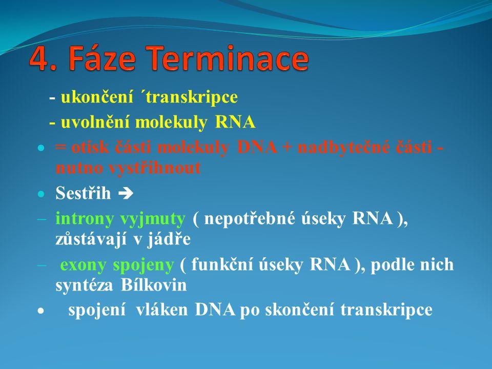 4. Fáze Terminace - ukončení ´transkripce - uvolnění molekuly RNA
