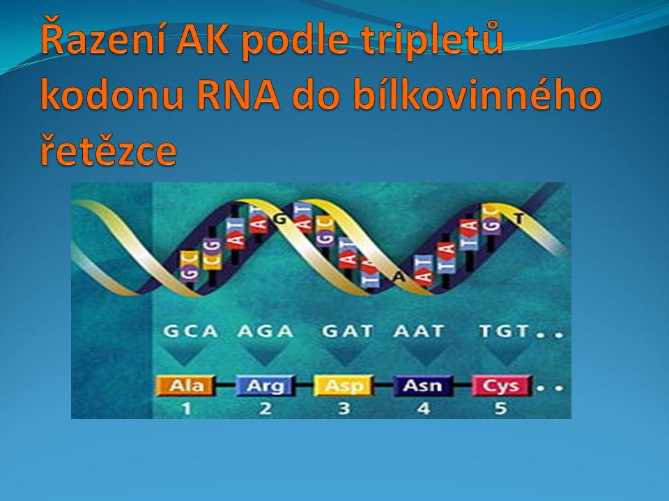 Řazení AK podle tripletů kodonu RNA do bílkovinného řetězce