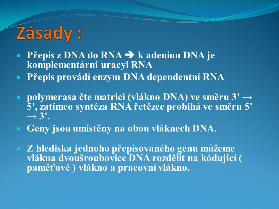 Zásady : Přepis z DNA do RNA  k adeninu DNA je komplementární uracyl RNA. Přepis provádí enzym DNA dependentní RNA.