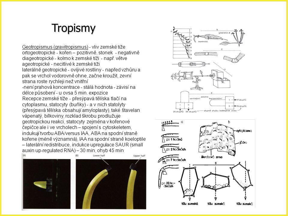 Tropismy Geotropismus (gravitropismus) - vliv zemské tíže