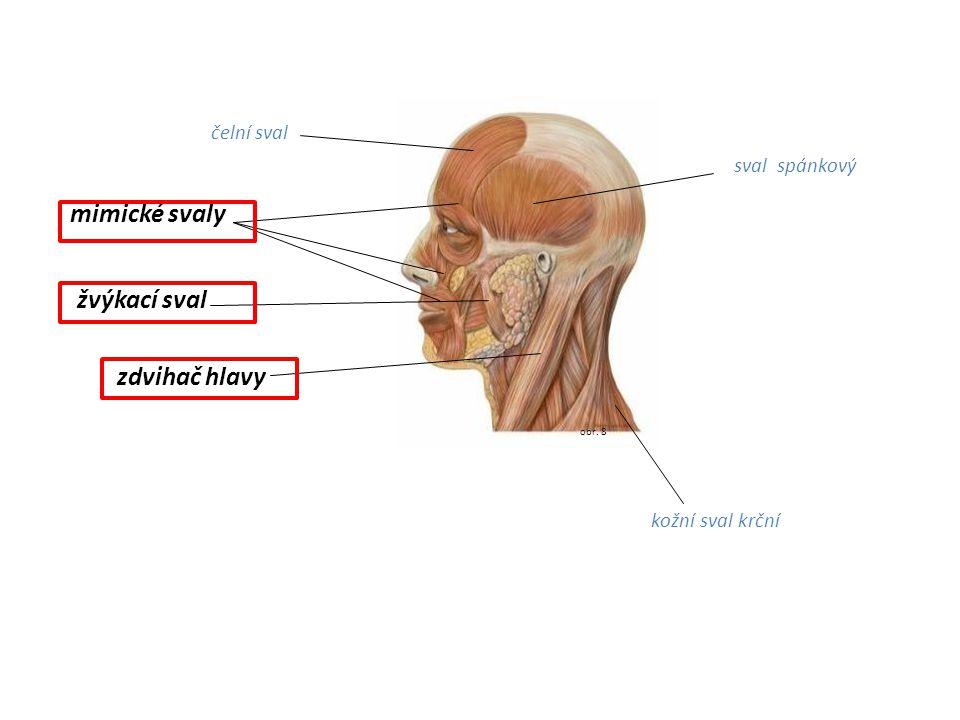 mimické svaly žvýkací sval zdvihač hlavy čelní sval sval spánkový
