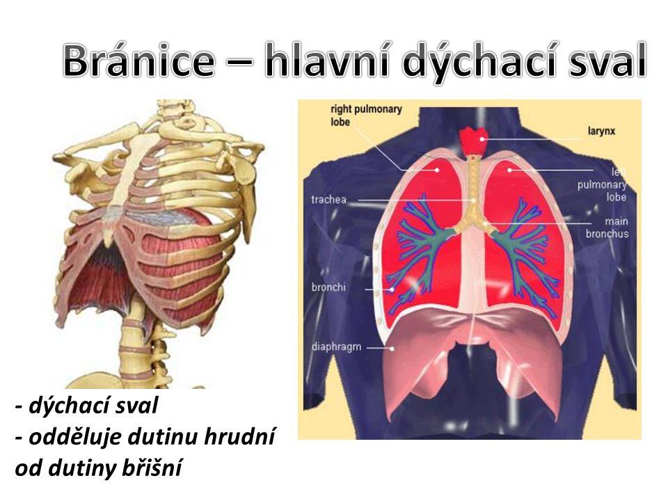 Bránice – hlavní dýchací sval