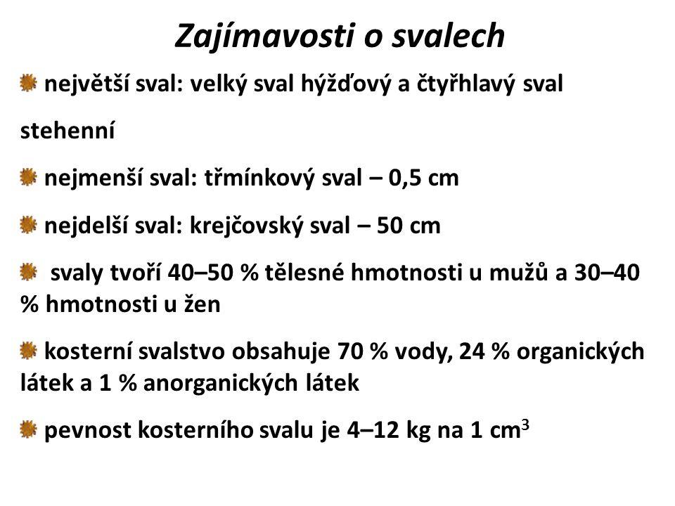 Zajímavosti o svalech největší sval: velký sval hýžďový a čtyřhlavý sval. stehenní. nejmenší sval: třmínkový sval – 0,5 cm.