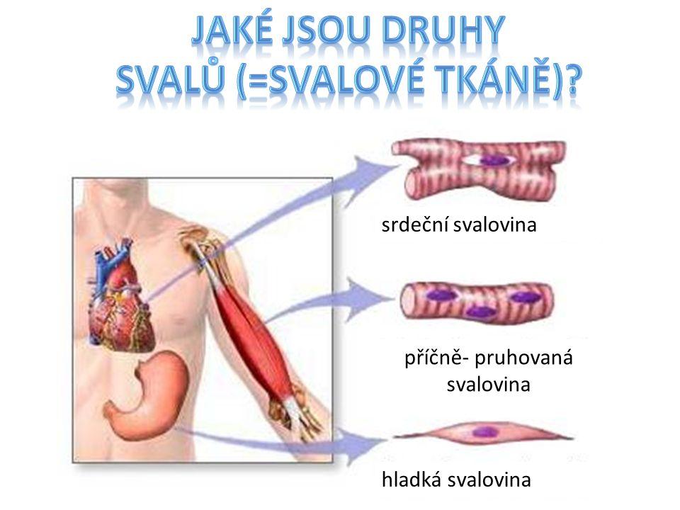 svalů (=svalové tkáně)
