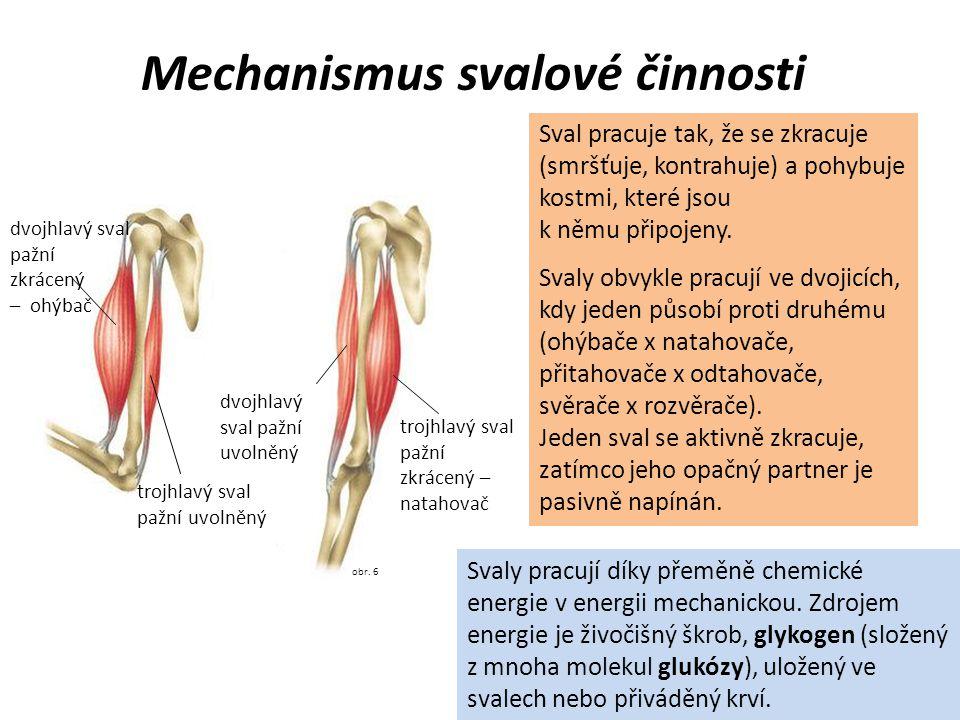 Mechanismus svalové činnosti