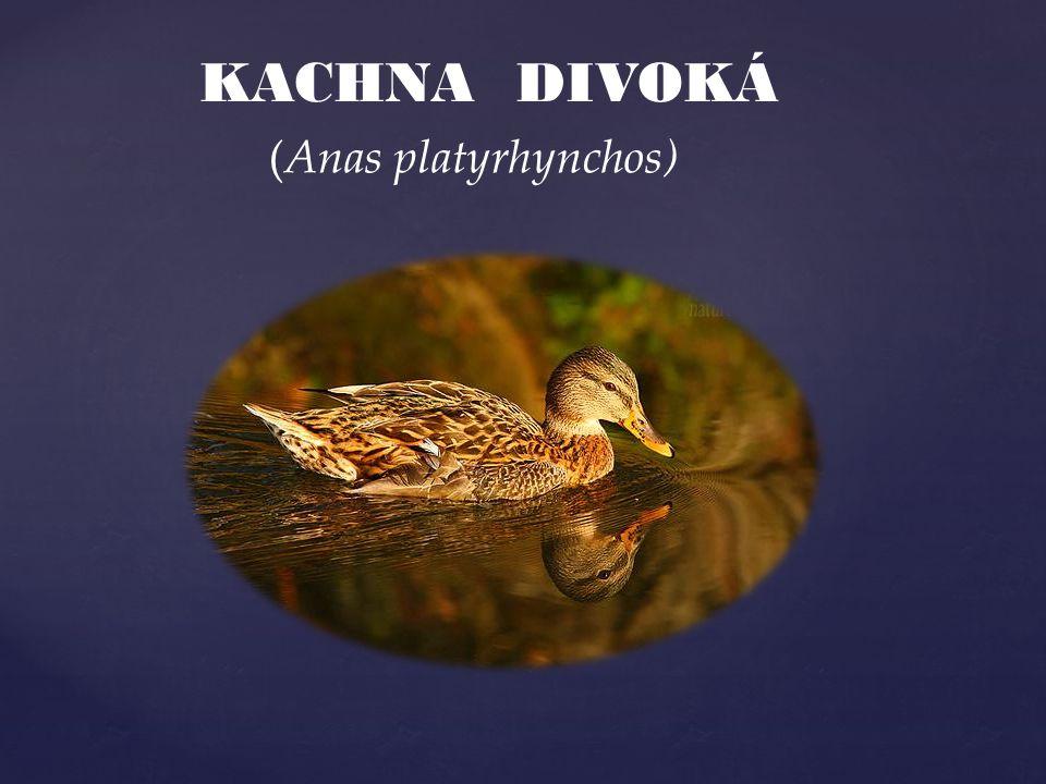 KACHNA DIVOKÁ (Anas platyrhynchos)