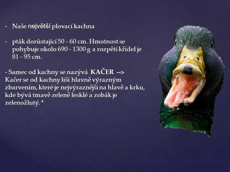 Naše největší plovací kachna
