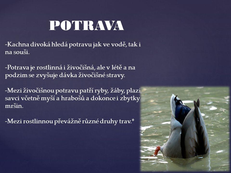 POTRAVA -Kachna divoká hledá potravu jak ve vodě, tak i na souši.