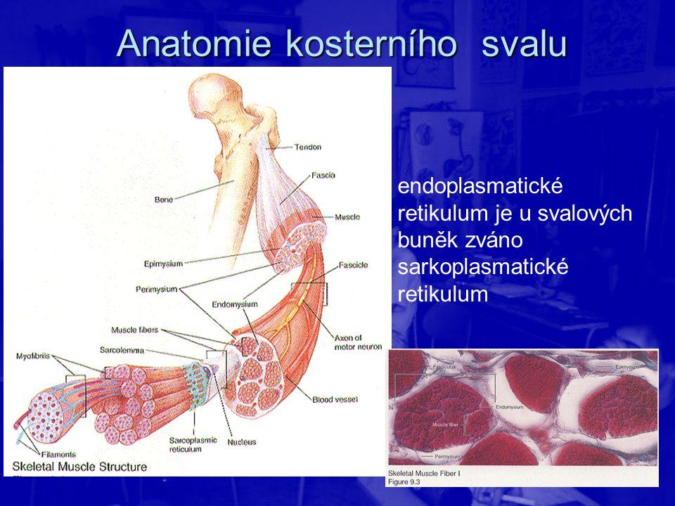 Anatomie kosterního svalu