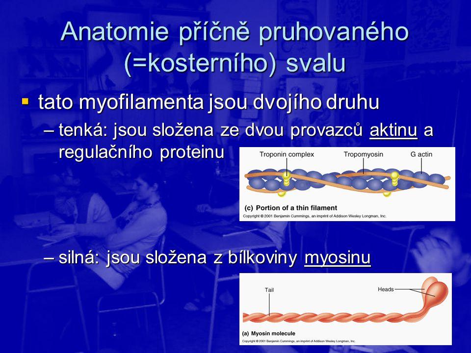 Anatomie příčně pruhovaného (=kosterního) svalu