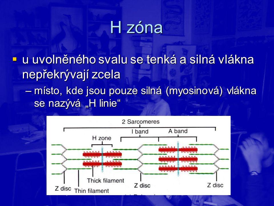 H zóna u uvolněného svalu se tenká a silná vlákna nepřekrývají zcela